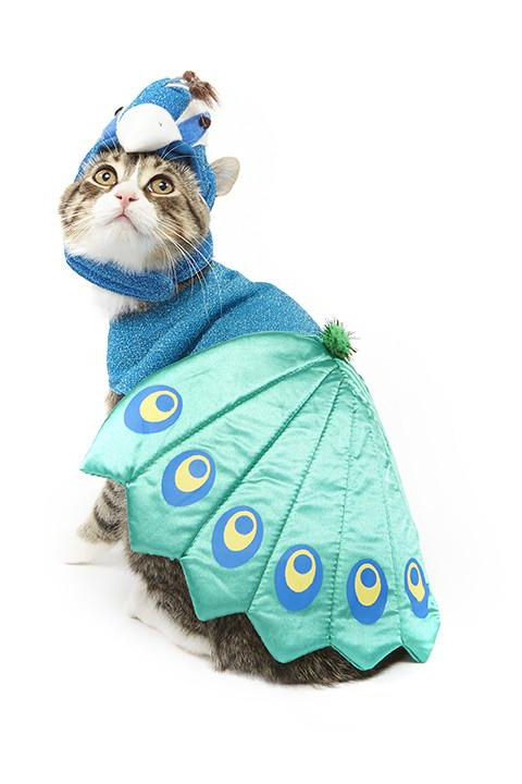 cat as peacock