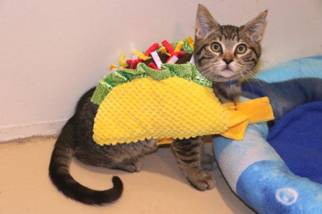 cat as taco